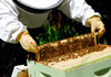 Климатичните условия са довели до измиране на пчелите и спад на продукцията