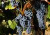 270 лозари в страната отглеждат био винено грозде по изискванията на биоземеделието