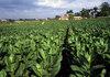 Тютюнопроизводителите приеха схемата за плащания, предложена от МЗХ