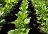 Конфедерацията на тютюнопроизводителите настоява за нов закон за помощите