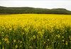 Близо 200 хил. площи в България са засети с рапица