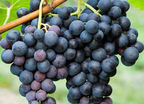 От 17 май стопаните могат да кандидатстват за застраховане на реколтата от винено грозде