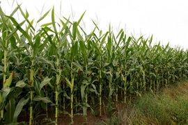 Турска фирма се готви да инвестира в изграждане на предприятие за преработка на царевица