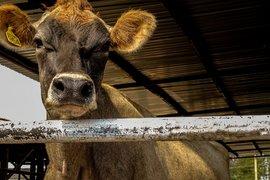 Фермерите доказват реализираното мляко и животни до 31 октомври