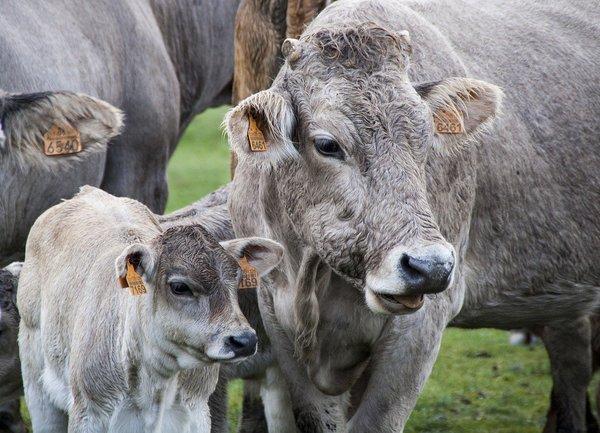 Въвежда се възрастово ограничение за допустимите за подпомагане животни по обвързана подкрепа