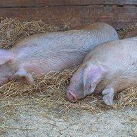 След 1 септември започва изплащането на помощи на засегнатите от Африканската чума по свинете