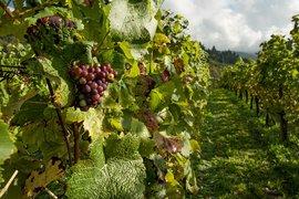 Стартира приемът по новата мярка за инвестиции от лозаро-винарската програма