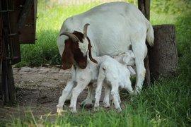 От 22 юли фермерите кандидатстват по мярката за хуманно отношение към животните