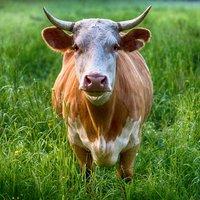 Отпускат се 1,5 млн. лв. за реализация на българско говеждо месо