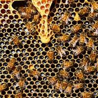 Пчеларите получиха близо 5 млн. лева за 2020 г.