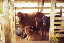 От 30 октомври се отваря прием по de minimis за реализация на българско говеждо месо