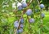 От 13 май производителите на плодове и зеленчуци кандидатстват за държавна помощ