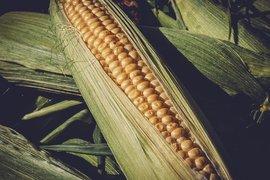Над 2.8 млн. тона царевица и 1.6 млн. тона слънчоглед са произведени за 2020 г. у нас